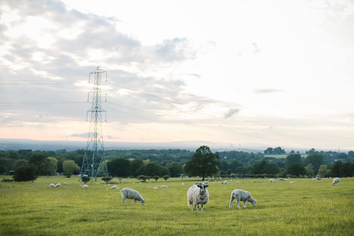 sheeps at weddings